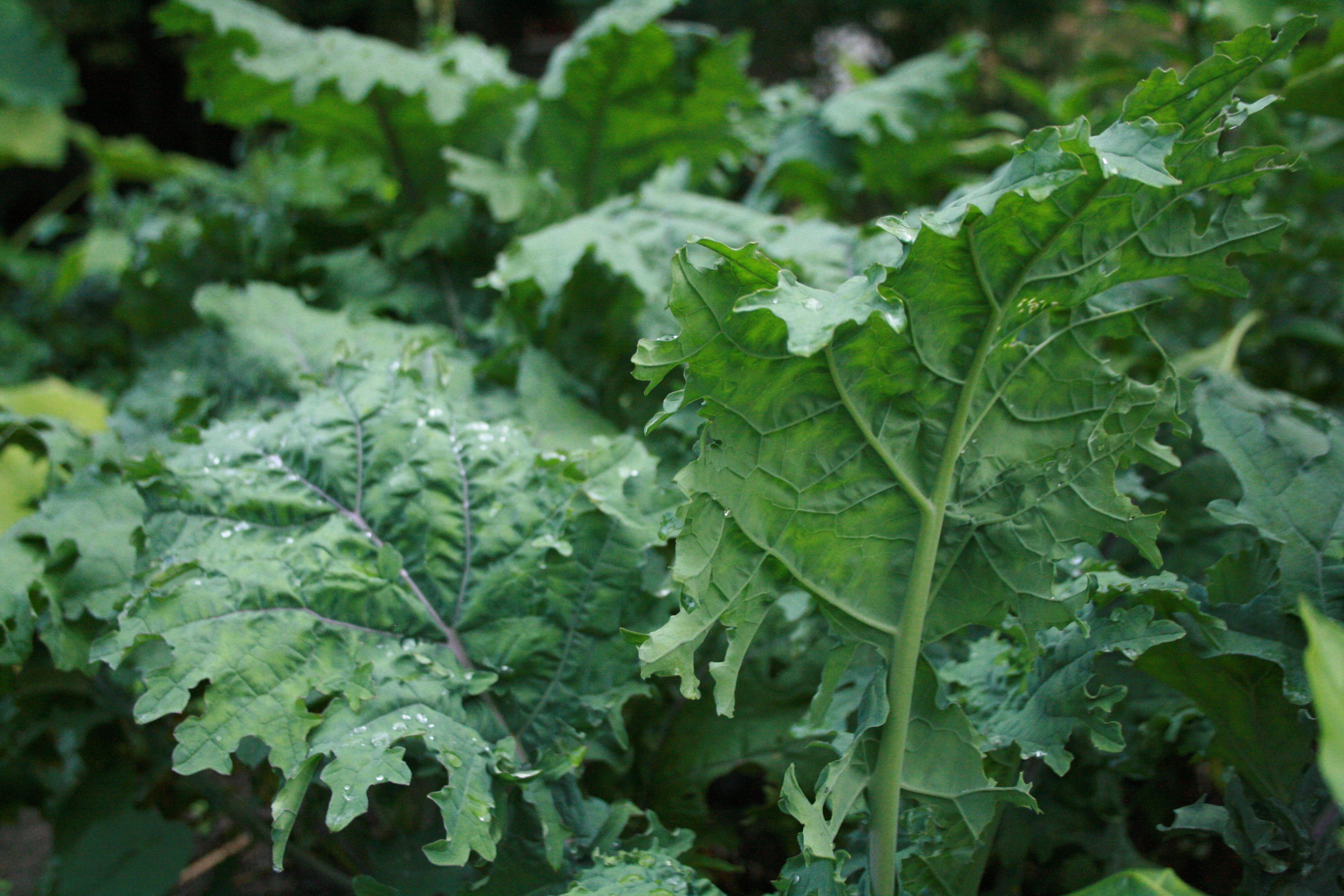 Dark Leafy Greens The Super Food Of Superfoods Phoebe
